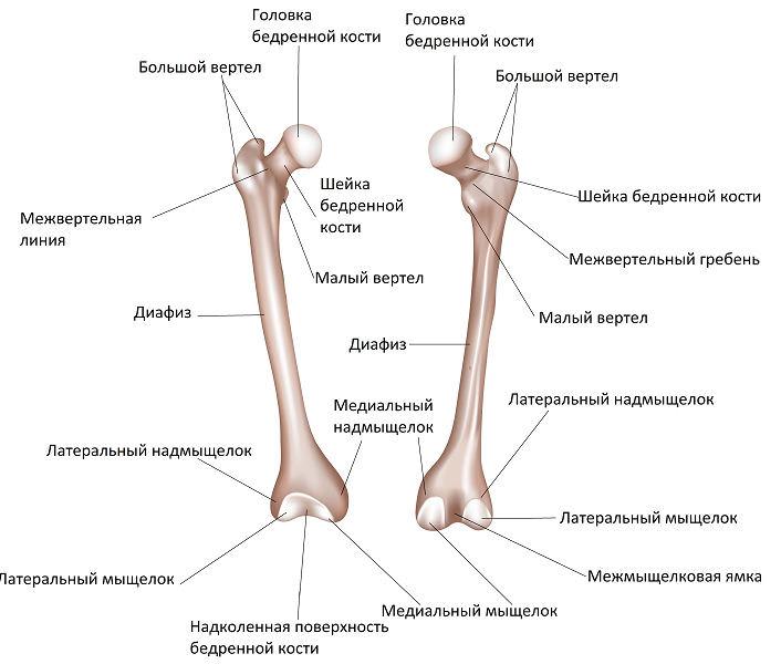 Строение кости бедра