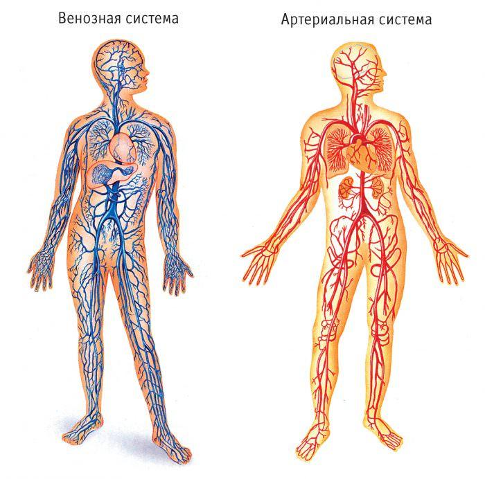 Кровеносная система таза