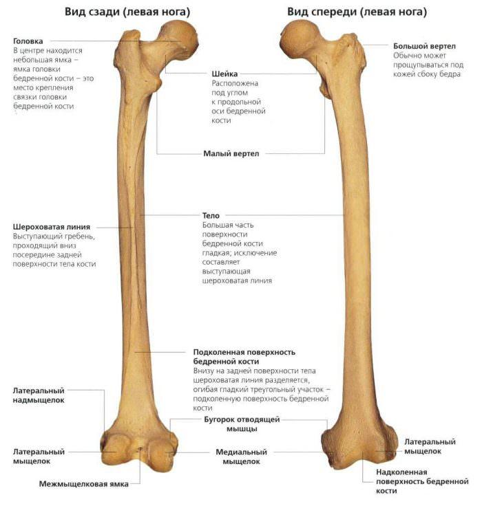 Строение кости в бедре