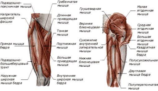 Мышечная структура таза