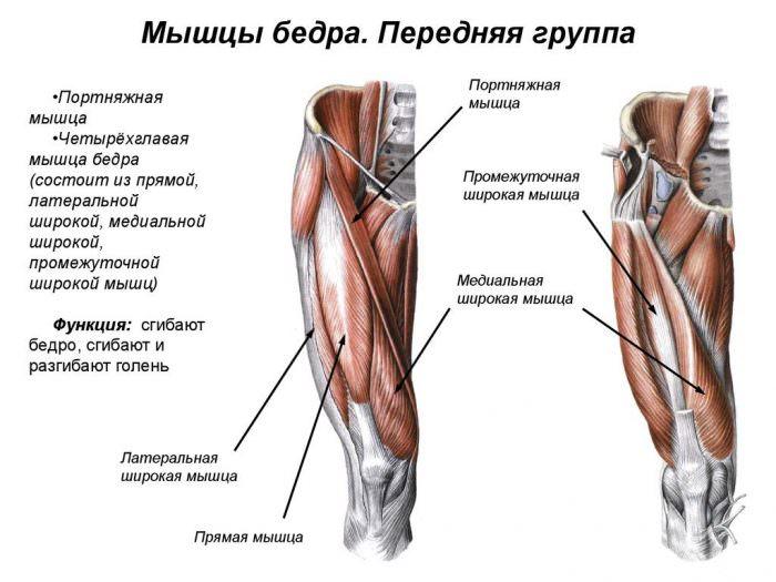 Передние мышцы таза