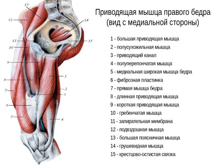 Внутренние мышцы таза
