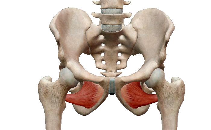 Внешняя запирательная мышца таза