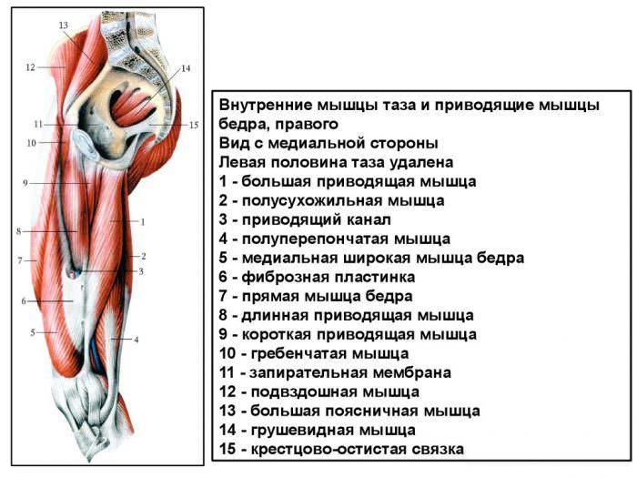 Анатомия бедренных мышц