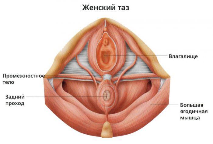 Строение дна женского таза