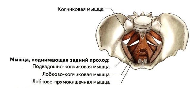 Лобкова копчиковая мышца где находится