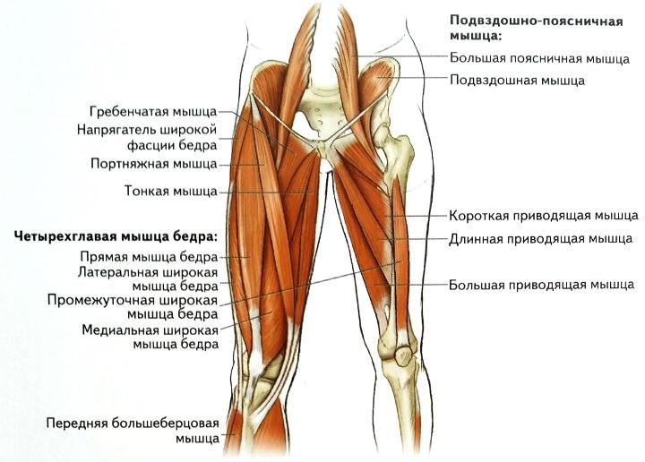 Мышцы бедер
