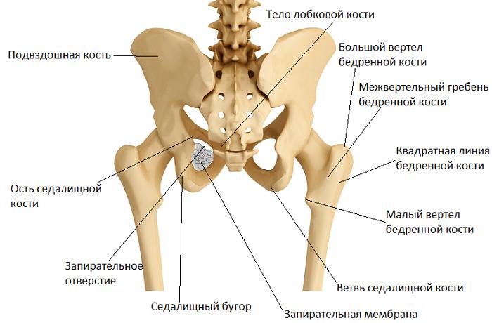 Кости тазобедренного сустава