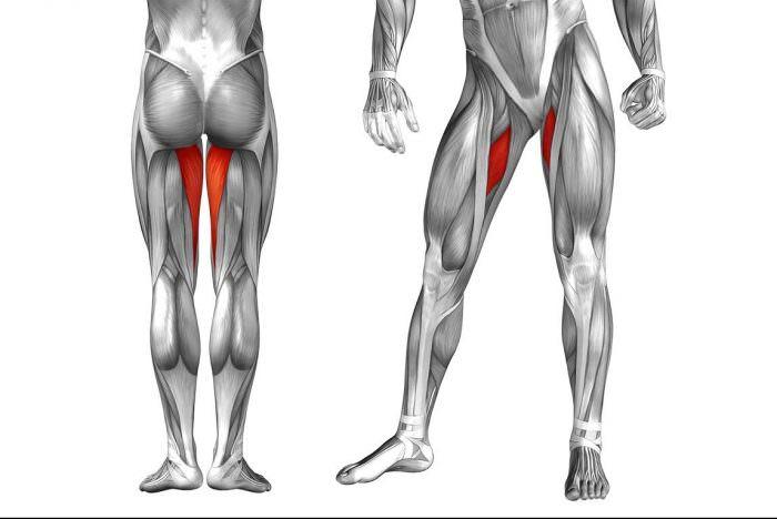 Внутренние бедренные мышцы