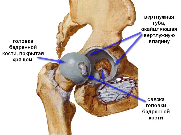 Кости и хрящи тазобедренного сустава