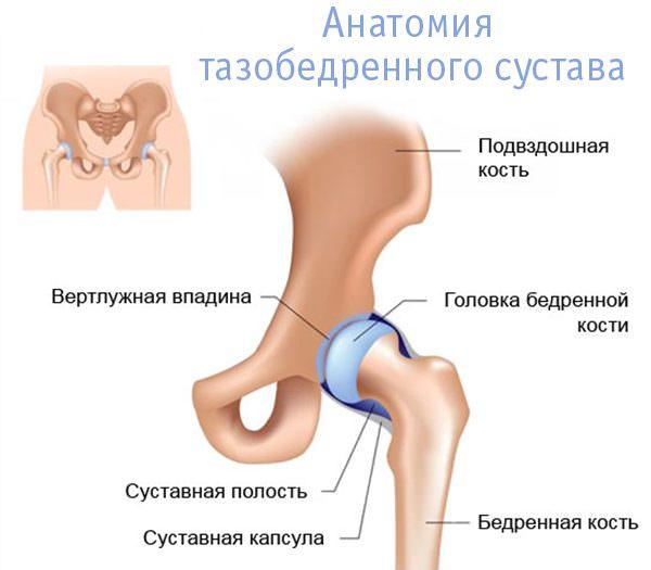 Анатомия сустава таза